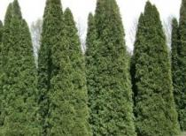 Thuja occidentalis semena 18 ks
