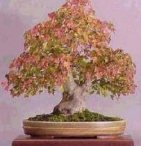 Acer buergeranum semena 5 ks