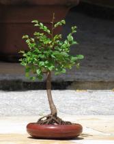 Ulmus parvifolia semena 5 ks