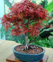 Acer palmatum semena 5 ks