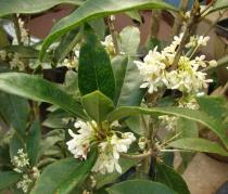 Osmanthus fragrans semena 5 ks