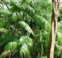 Akaí Acai Euterpe oleracea semena Acai 2 ks