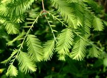 Metasequoia glyptostroboides semena 10 ks