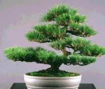 Pinus thunbergii semena 5 ks
