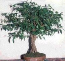 Ficus benjamina semena 4 ks