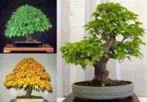 Acer ginnula semena 5 ks