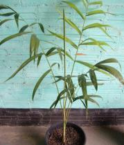 Dypsis madagascariensis semena 3 ks