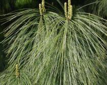 Pinus wallichiana semena 5 ks