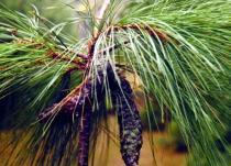 Roxburghova Pinus roxburhii semena 5 ks