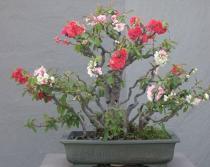 Chaenomeles Japonica semena 5 ks