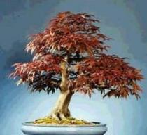 Acer rubrum semena 5 ks