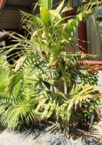 Ptychosperma semena 3 ks