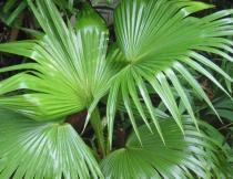 Livistona Chinensis semena 3 ks