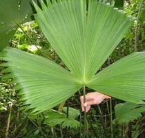 Carludovica rotundifolia semena 3 ks
