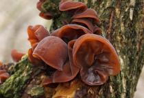 Auricularia auricula judae sadba