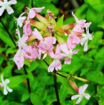 Saponaria officinalis semena 15 ks