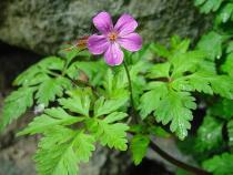 Geranium robertianum semena 10 ks