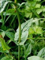 Rumex acetosa semena 25 ks