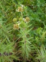 Plantago psyllium 40 ks