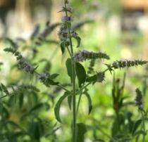 Mentha longifolia semena 20 ks