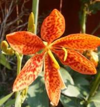 Belamcanda chinensis semena 5 ks