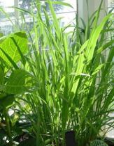 Cymbopogon citratus semena 20 ks
