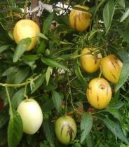 Solanum muricatum semena 5 ks