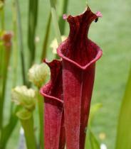 Sarracenia mix semena 12 ks