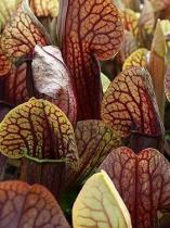 Sarracenia alata giant semena 12 ks