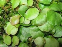 Utricularia tridentata semena 15 ks