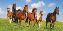 CASTORLAND 4000 dílků - Koně Paso Fino