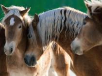 RAVENSBURGER 1500 dílků - Koně