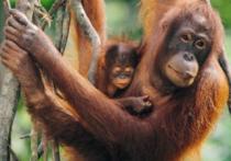 DINO 500 dílků - Orangutani