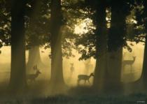 HEYE 1000 dílků - Magický les: Jeleni