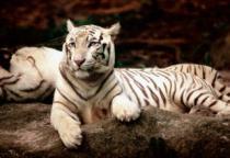 TREFL 1500 dílků - Bengálský tygr