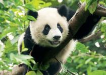 TREFL 500 dílků - Panda