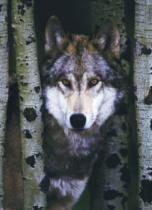 EUROGRAPHICS 1000 dílků - Šedý vlk