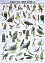 EUROGRAPHICS 1000 dílků : Dravci a sovy