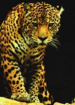 EUROGRAPHICS 1000 dílků : Leopard