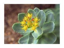 Salvia paradise Rozchodnice růžová prášek 75g