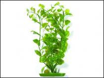 Rostlina Cardamine 30cm