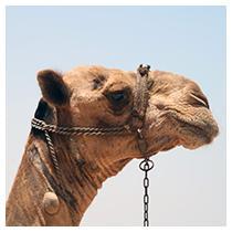 Dekang Desert Ship (příchuť Camel) 11mg