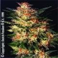 White Widow - feminizovaná semínka 10ks Dutch Passion